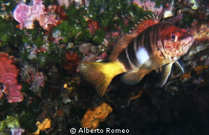 Portrait of a little groper  Serranus scriba. by Alberto Romeo 